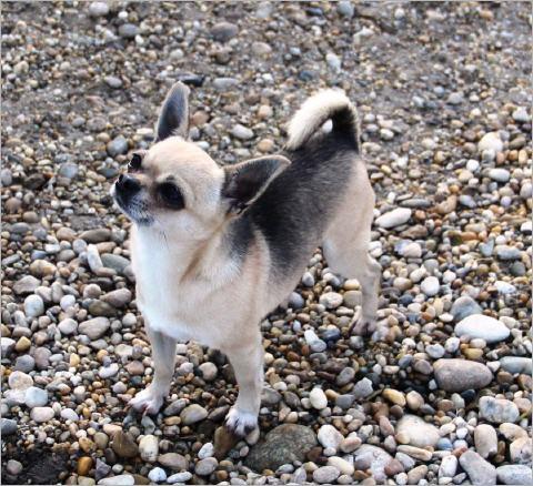 Chihuahua Kurz Und Langhaar