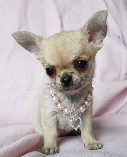 Chihuahua Club Austria