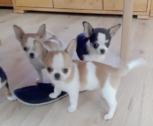 Chihuahua Zuchtstatten In Osterreich